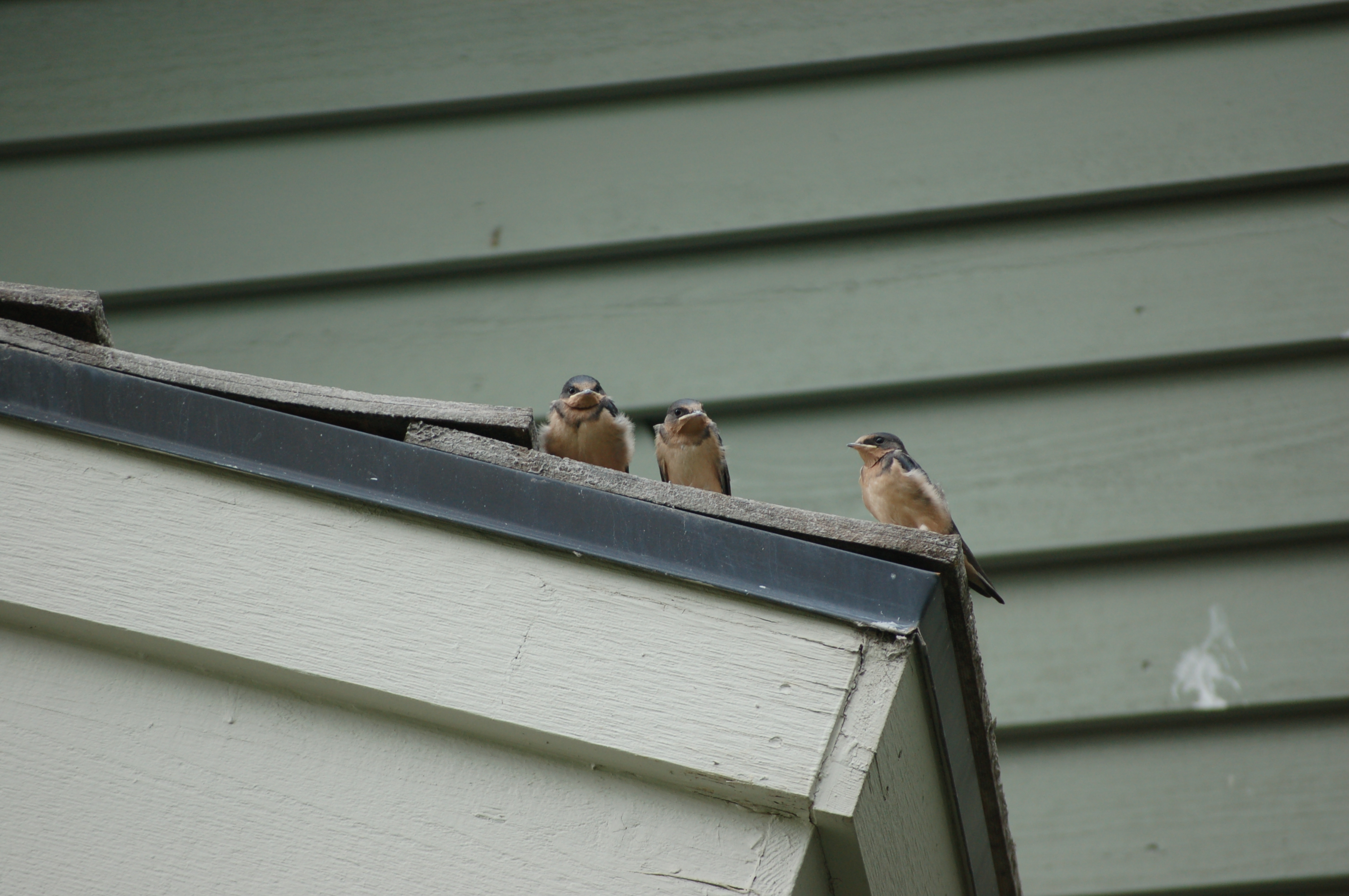 Three swallow fledglings that just left their nest sit together on a roof with a parent swallow watching nearby. The parent stays close to ensure that the fledglings are learning how to fly and feed themselves. (Photo by C.J.Johnson)
