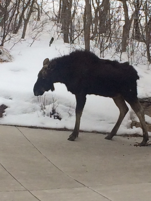 A sick, weak yearling moose in the American Flag area of Deer Valley was euthanized by the Utah Division of Wildlife Resources on Tuesday. (Photo courtesy of Andy Barros)