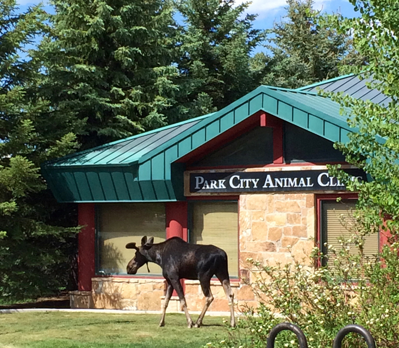 A moose was spotted in Prospector on Friday, drawing a small crowd of onlookers. The Park City Police Department last week received at least three reports of moose in the vicinity of the Friday sighting. (Nan Chalat Noaker/Park Record)
