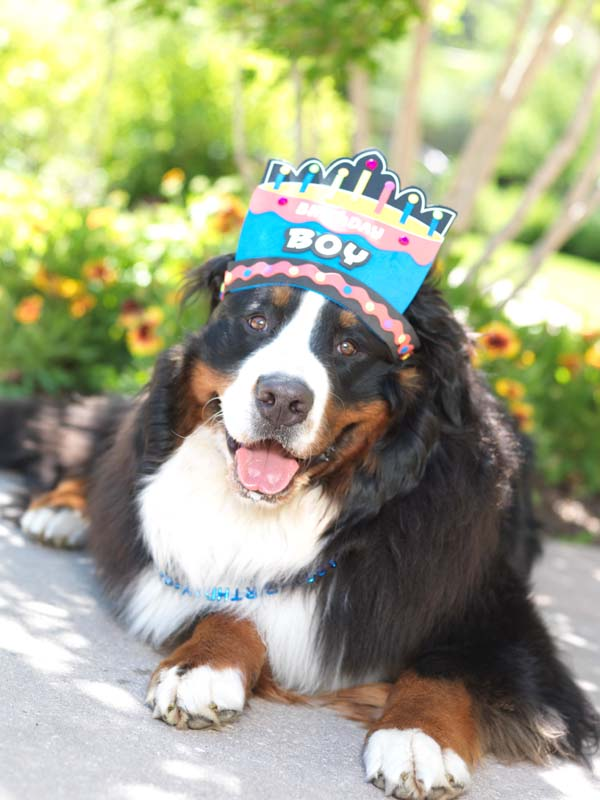 7K Society will host Barks and Brews, a cocktail social for dogs and humans at the Montage Deer Valley on July 30. The free event coincides with Montage Deer Valley's canine ambassador Monty, a Burmese Mountain dog. (Courtesy Montage Deer Valley)
