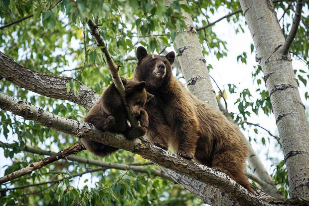 Aspen police: Don't take selfies with bears