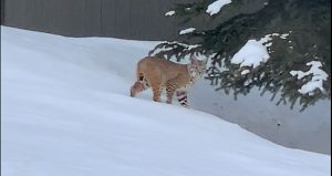 Park City man, happy pet inside, watches bobcat traverse backyard