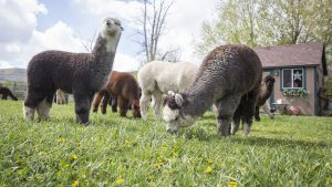 Blue Moon Ranch alpacas welcome spring with an open barn day
